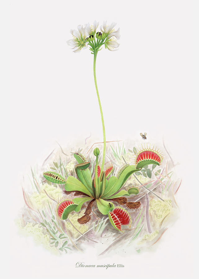 Venus Fly Trap  Painting  - Venus Fly Trap  Fine Art Print