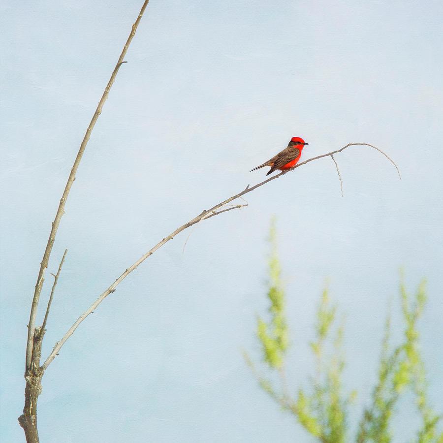 Vermilion Flycatcher Photograph