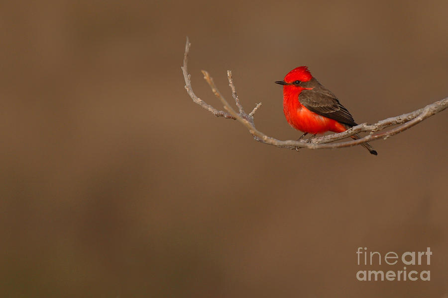 Vermillion Flycatcher On Early Spring Perch Photograph