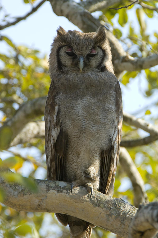 Verreauxs Eagle Owl, Bubo Lacteus, Or Photograph  - Verreauxs Eagle Owl, Bubo Lacteus, Or Fine Art Print