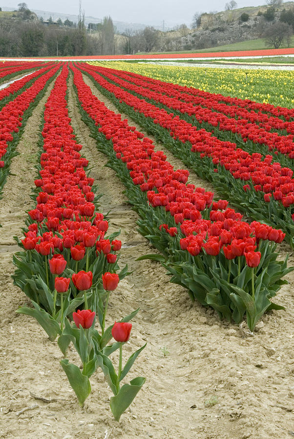 bright red flowers field - photo #47