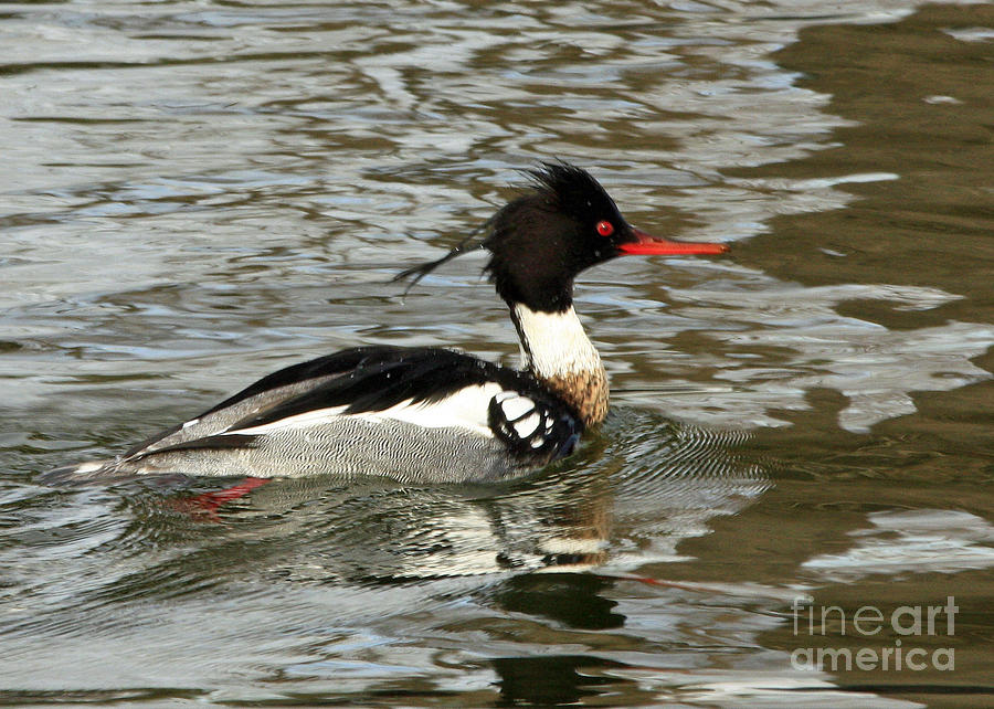 Vibrant Red Breasted Merganser At The Lake Photograph