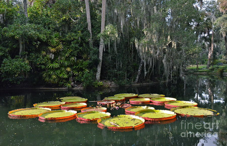 Victoria Water Lilies Photograph  - Victoria Water Lilies Fine Art Print