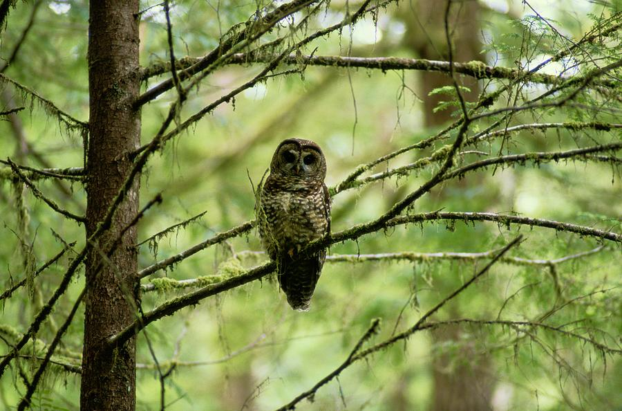 View Of A Northern Spotted Owl Photograph  - View Of A Northern Spotted Owl Fine Art Print