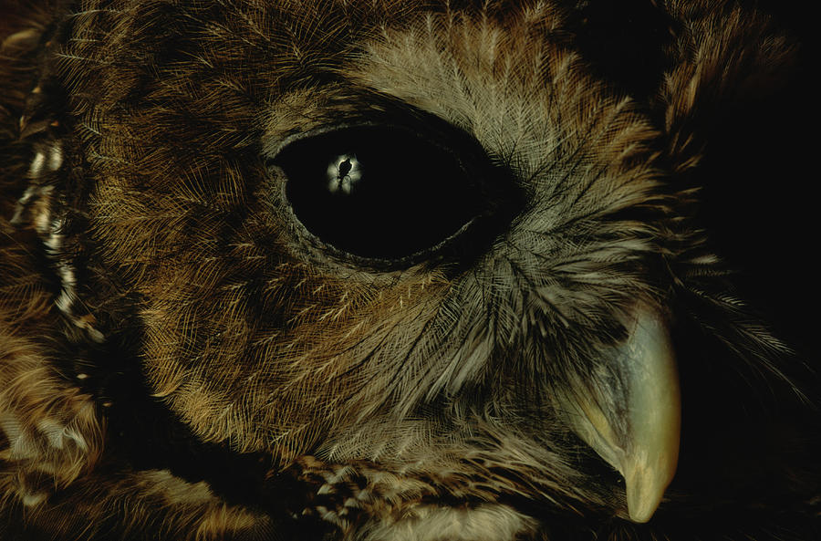 View Of A Northern Spotted Owl Strix Photograph