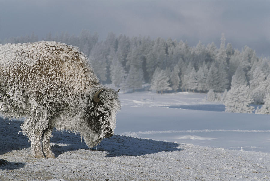 View Of An Ice-encrusted American Bison Photograph