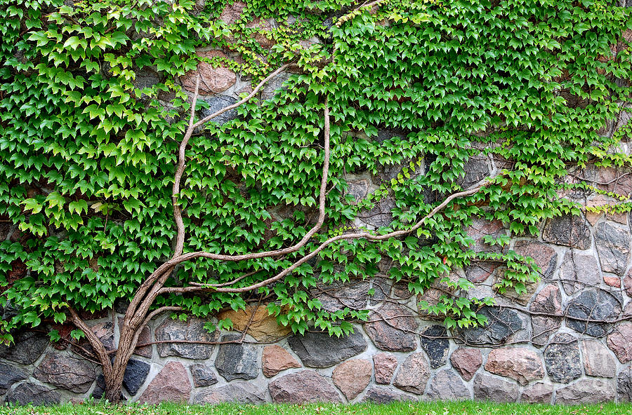 vine growing on a rock wall photograph by michael gray. Black Bedroom Furniture Sets. Home Design Ideas