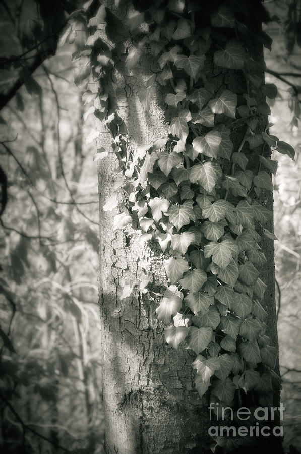 Vine On Tree Photograph  - Vine On Tree Fine Art Print