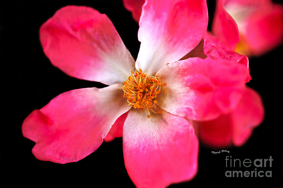Vine Rose Photograph  - Vine Rose Fine Art Print