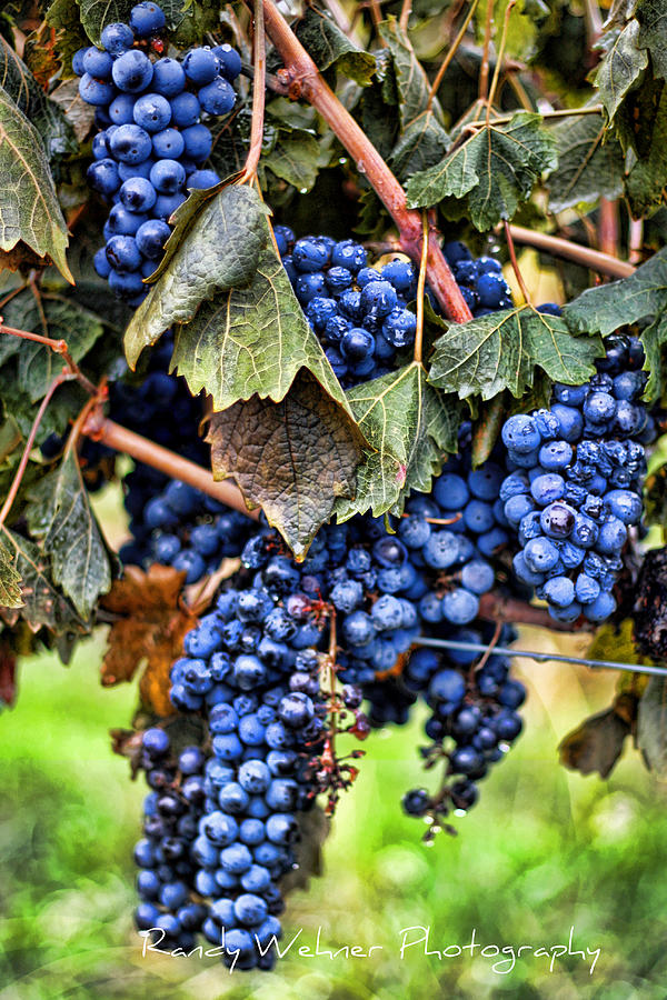 Grape Photograph - Vines And Clusters by Randy Wehner Photography