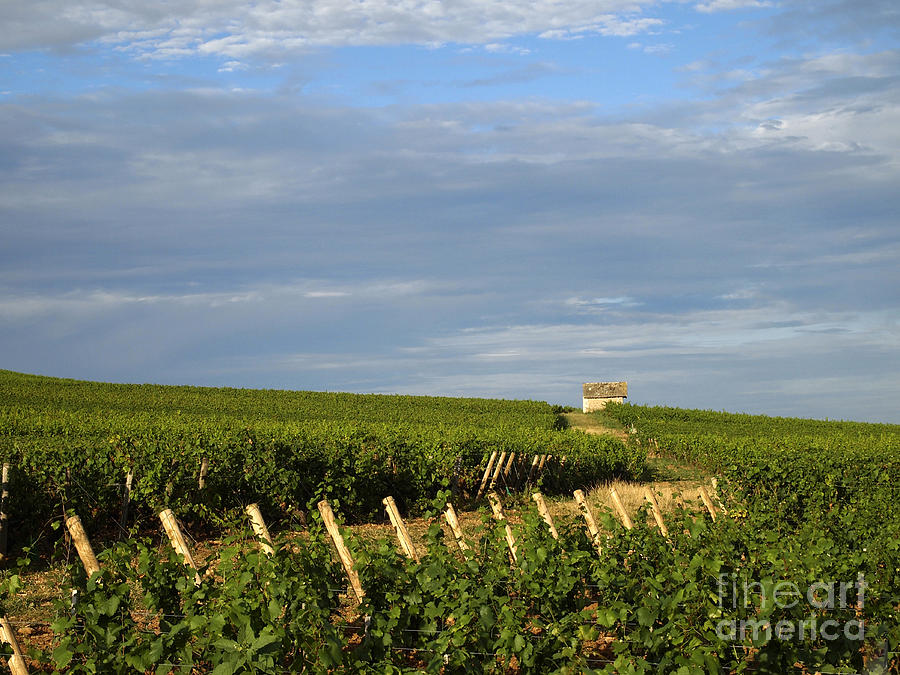 Vines In Burgundy. France Photograph