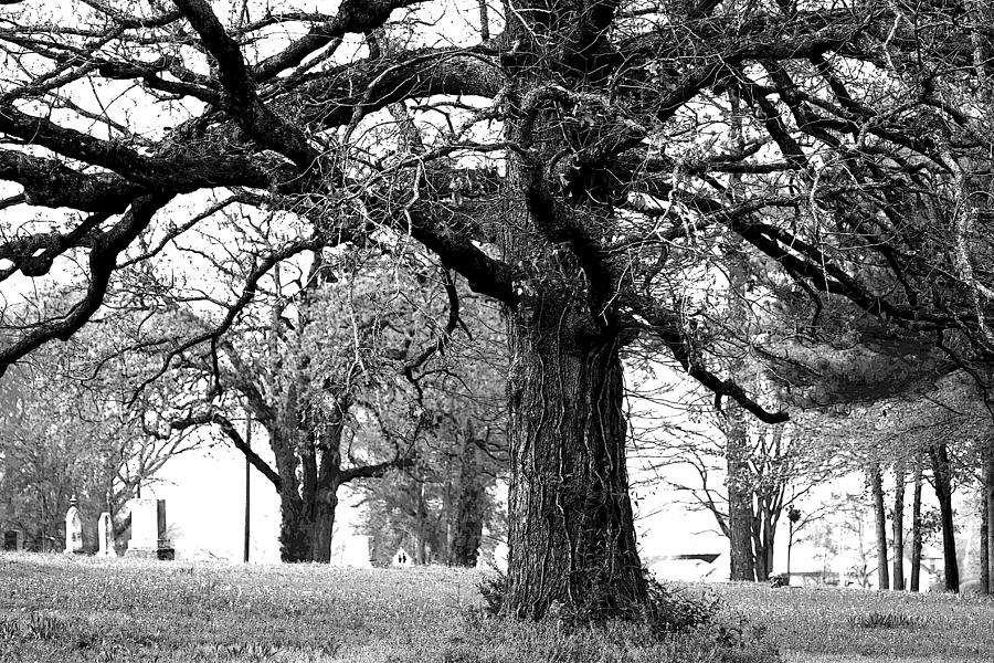 Viney Trees Photograph