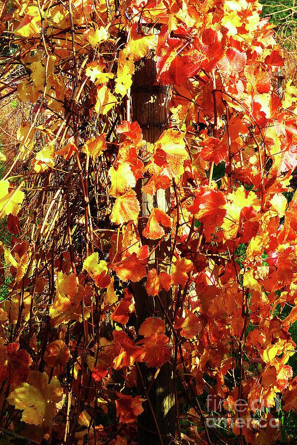 Vineyard 26 Photograph