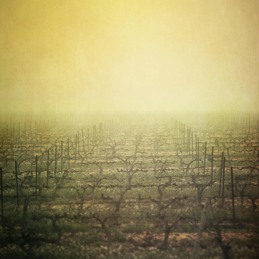Square Photograph - Vineyard In Mist by Paul Grand Image