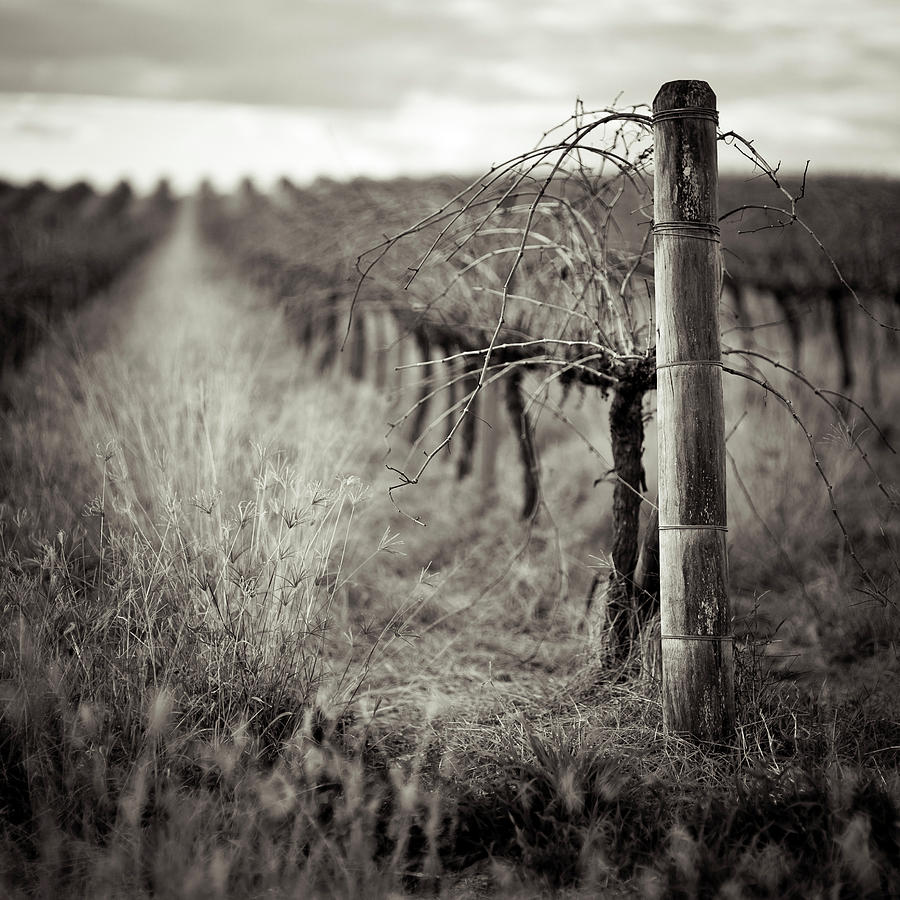 Vineyard In Winter Photograph