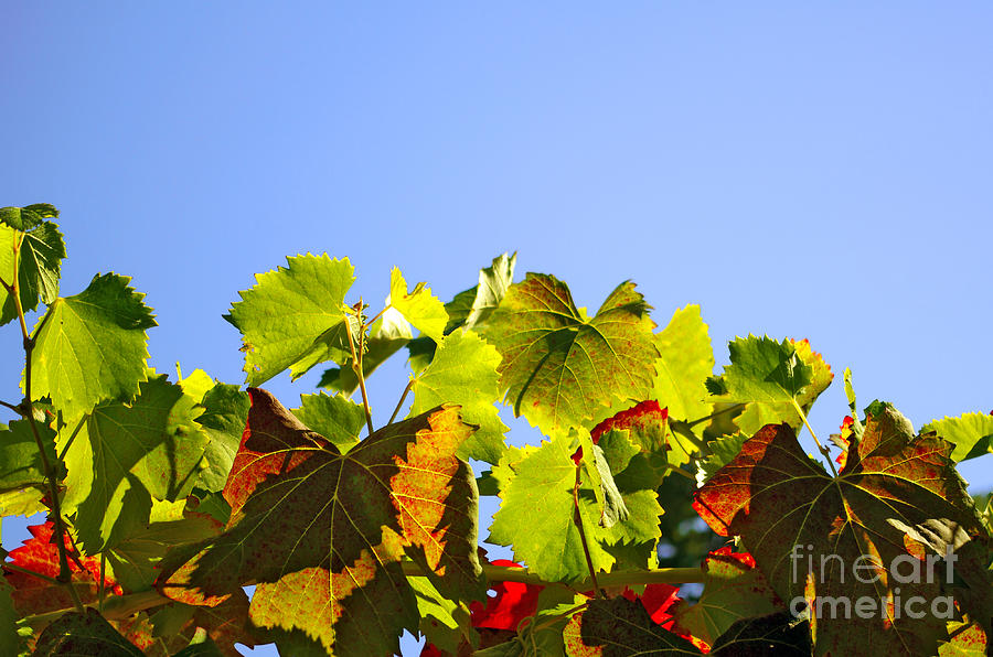 Vineyard Leaves Photograph  - Vineyard Leaves Fine Art Print