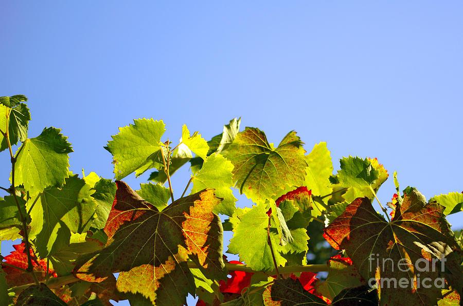 Vineyard Leaves Photograph
