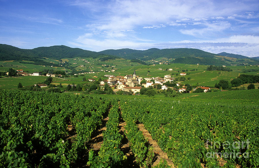Vineyard Of Beaujolais In France Photograph