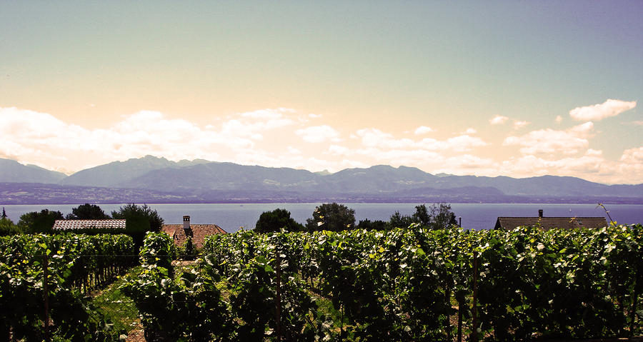 Vineyard On Lake Geneva Photograph  - Vineyard On Lake Geneva Fine Art Print