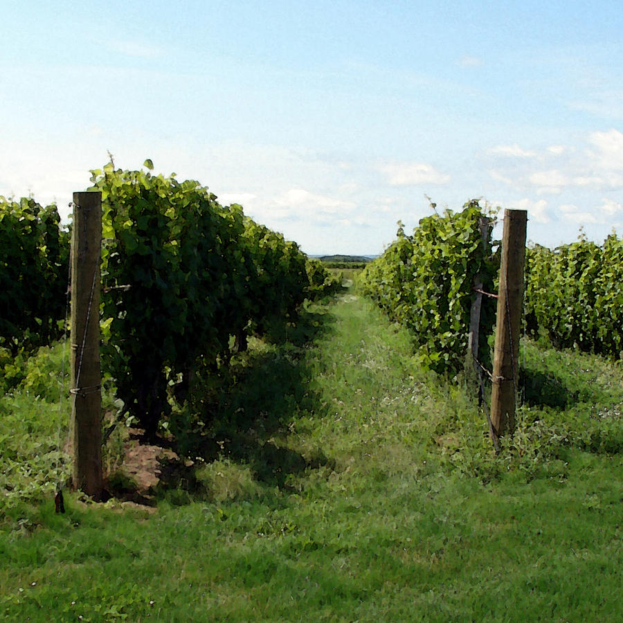 Vineyard On The Peninsula Photograph