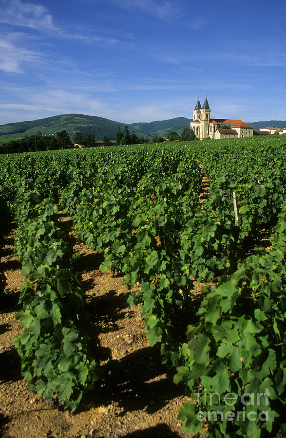 Vineyard. Regnie-durette. Beaujolais Wine Growing Area. Departement Rhone. Region Rhone-alpes. Franc Photograph