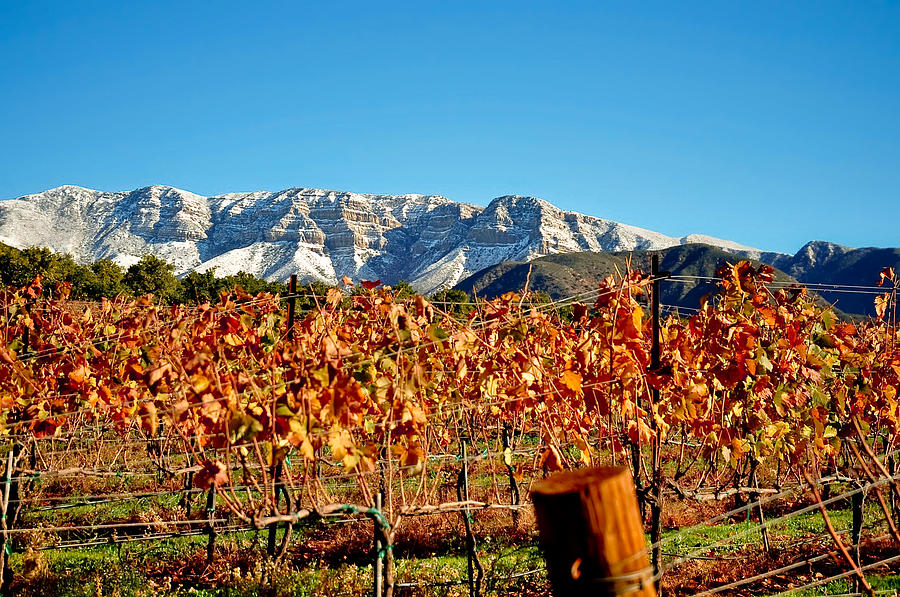 Vineyard Snow Topa Photograph  - Vineyard Snow Topa Fine Art Print