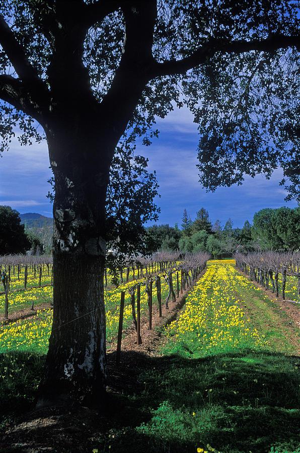 Vineyard View Photograph