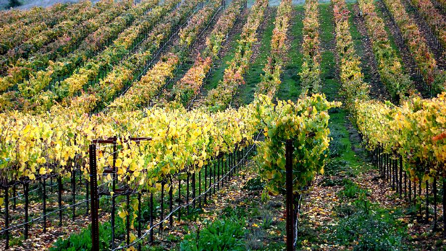 Vineyards In Healdsburg Photograph