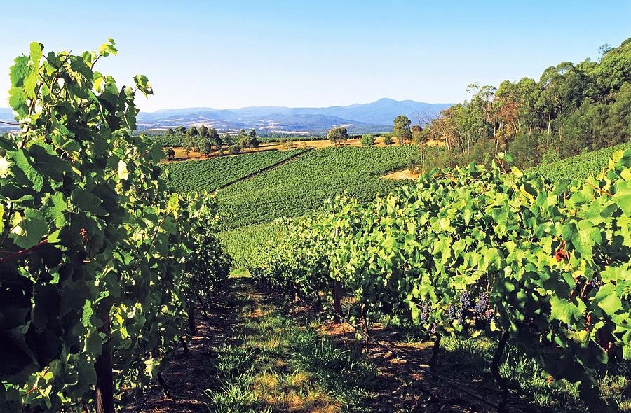 Vineyards In The Yarra Valley, Victoria, Australia Photograph