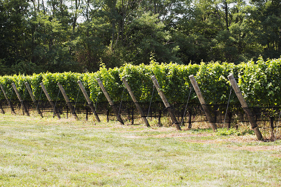 Vineyards Photograph