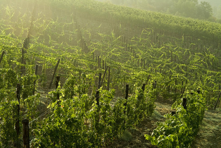Vineyards Shrouded In Fog Photograph