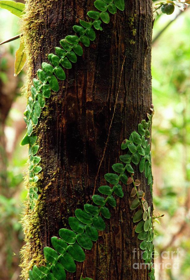Vining Fern On Sierra Palm Tree Photograph