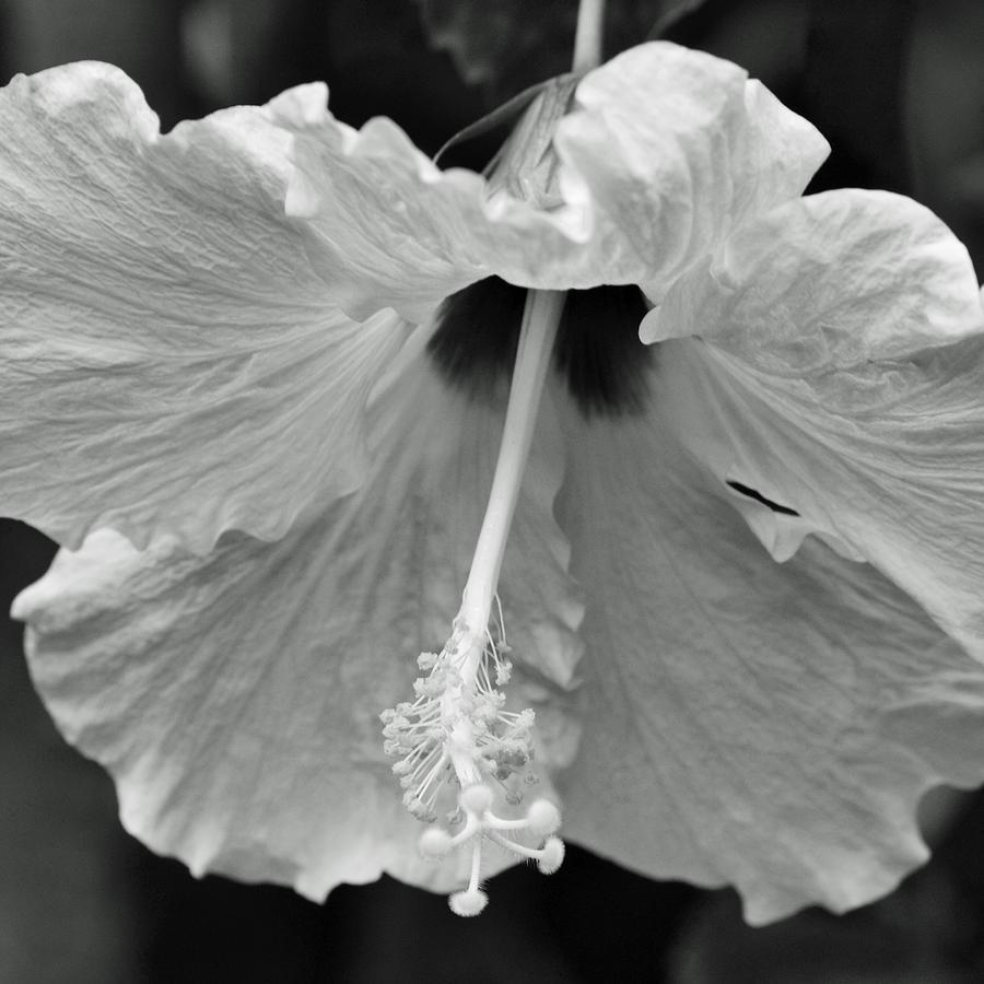 Vintage Hibiscus II Photograph