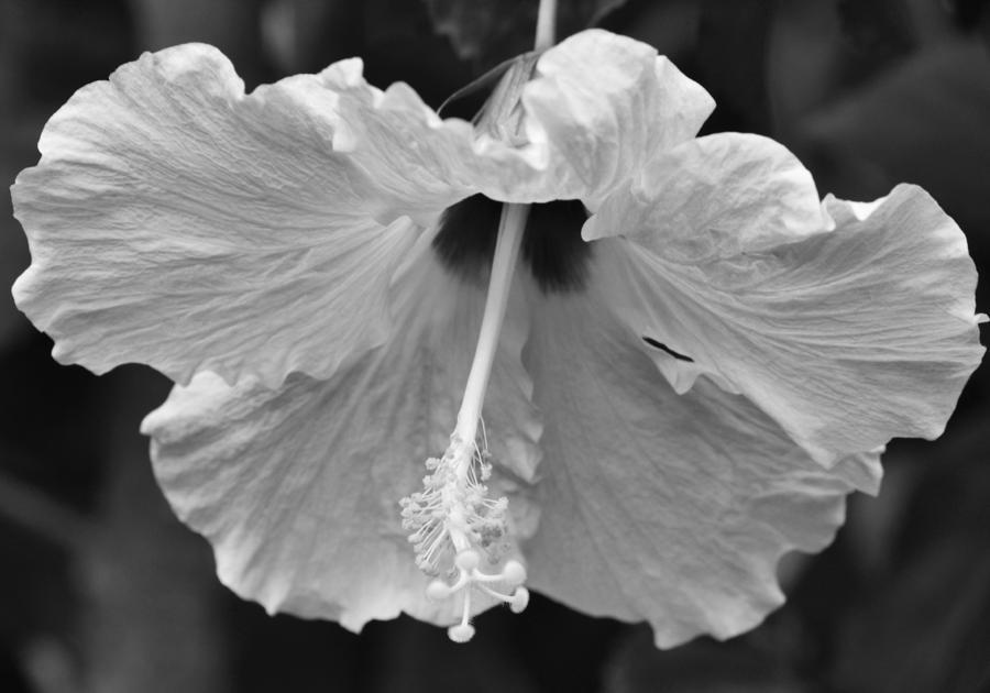 Vintage Hibiscus Photograph