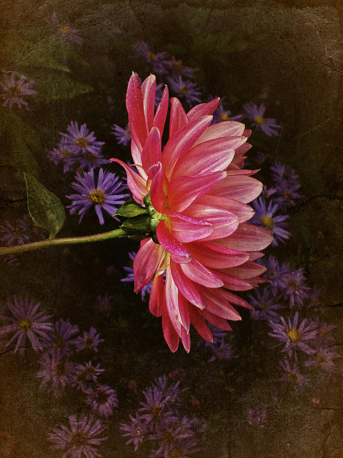 Vintage October Dahlia Photograph  - Vintage October Dahlia Fine Art Print