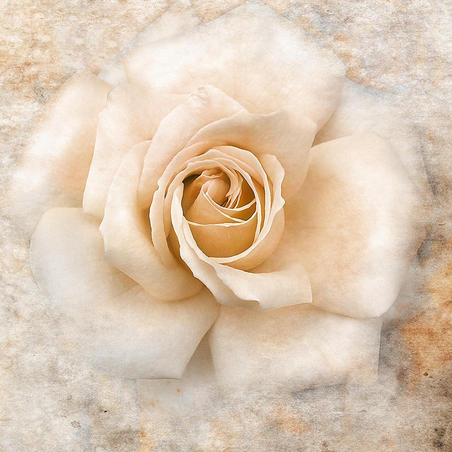 Vintage Rose Background  Vecteezy