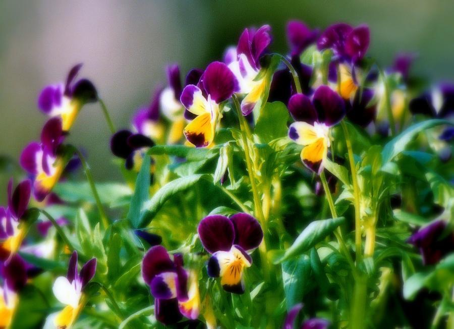 Violas Photograph - Viola Parade by Karen Wiles
