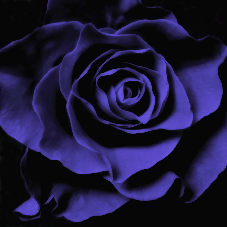 Violet Blue Rose I Photograph  - Violet Blue Rose I Fine Art Print