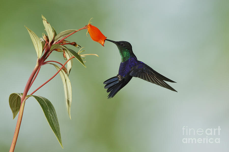 Violet-crowned Hummingbird Feeding On Gloxinia Flower Photograph  - Violet-crowned Hummingbird Feeding On Gloxinia Flower Fine Art Print