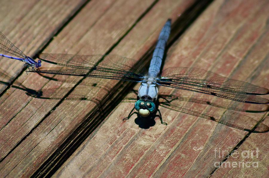 Violet Dancer On A Great Blue Skimmer Photograph