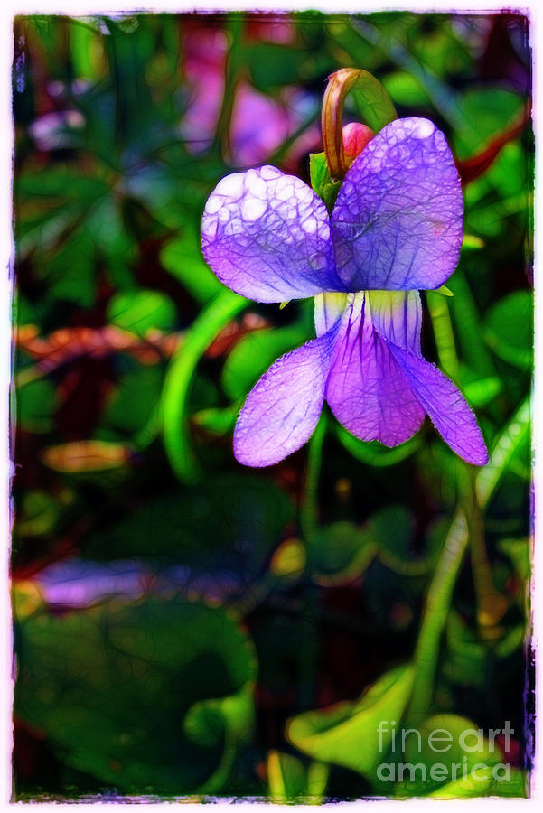 Violet With Dew Photograph  - Violet With Dew Fine Art Print