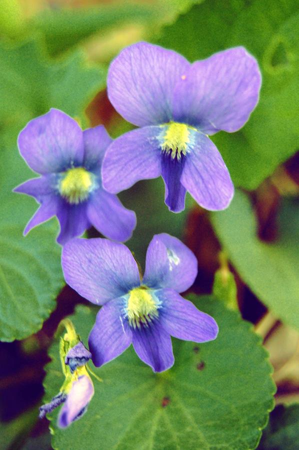 Violets Photograph