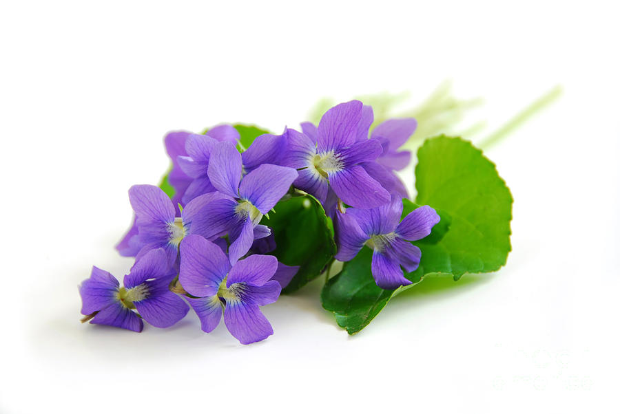 Violets On White Background Photograph