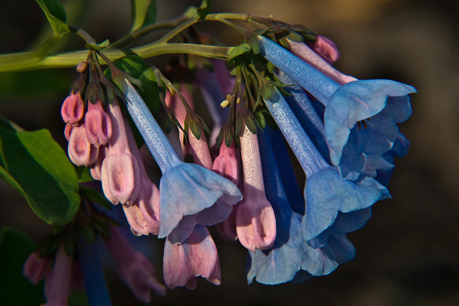 Virginia Bluebells 11 Photograph  - Virginia Bluebells 11 Fine Art Print