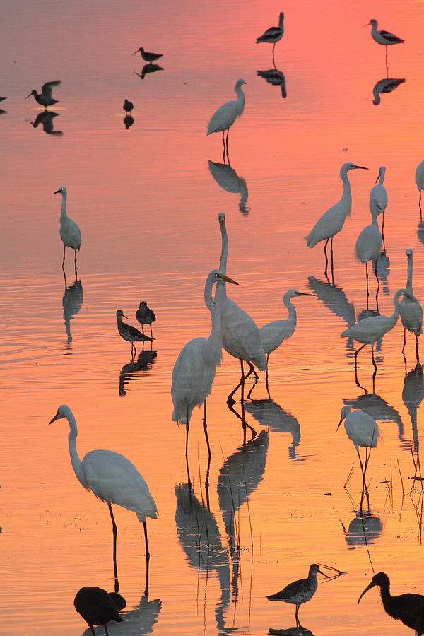 Wading Birds Forage In Colorful Sunset Photograph