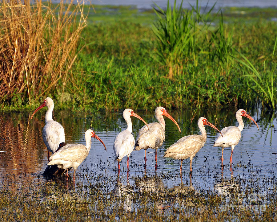 Ibis Photograph - Wading Ibises by Al Powell Photography USA