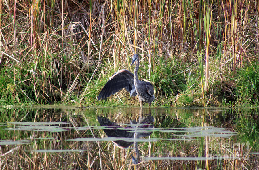 Wading In Heron Photograph