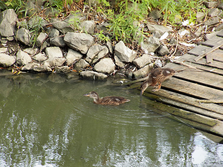 Ducks Photograph - Wait For Me by Corinne Elizabeth Cowherd
