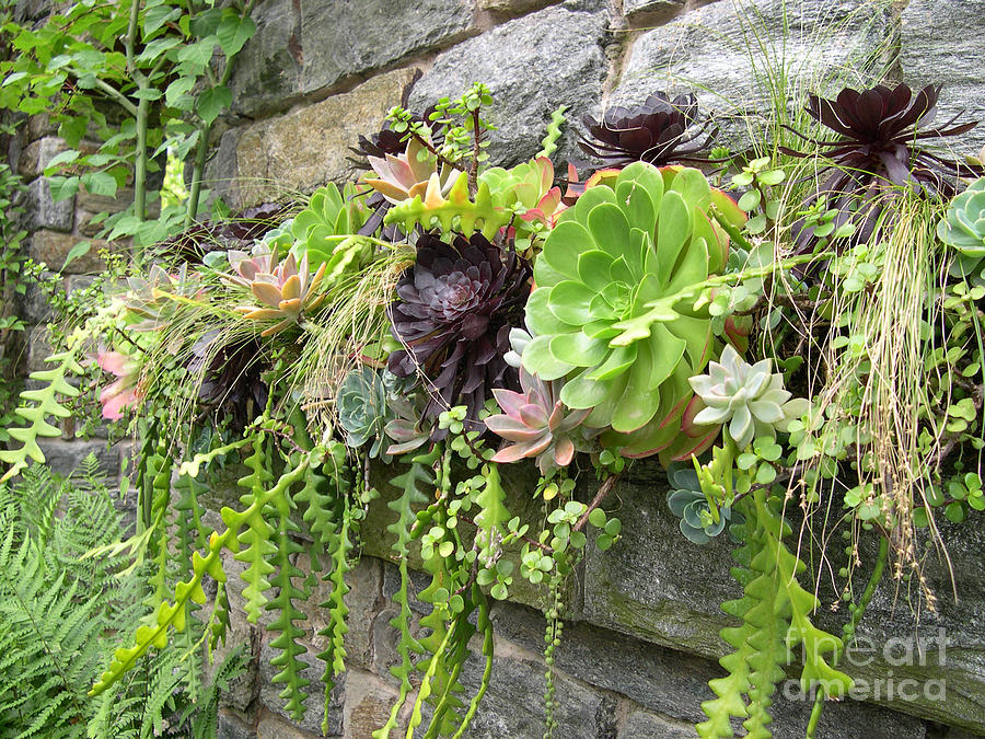 Wall Of Sedums Photograph