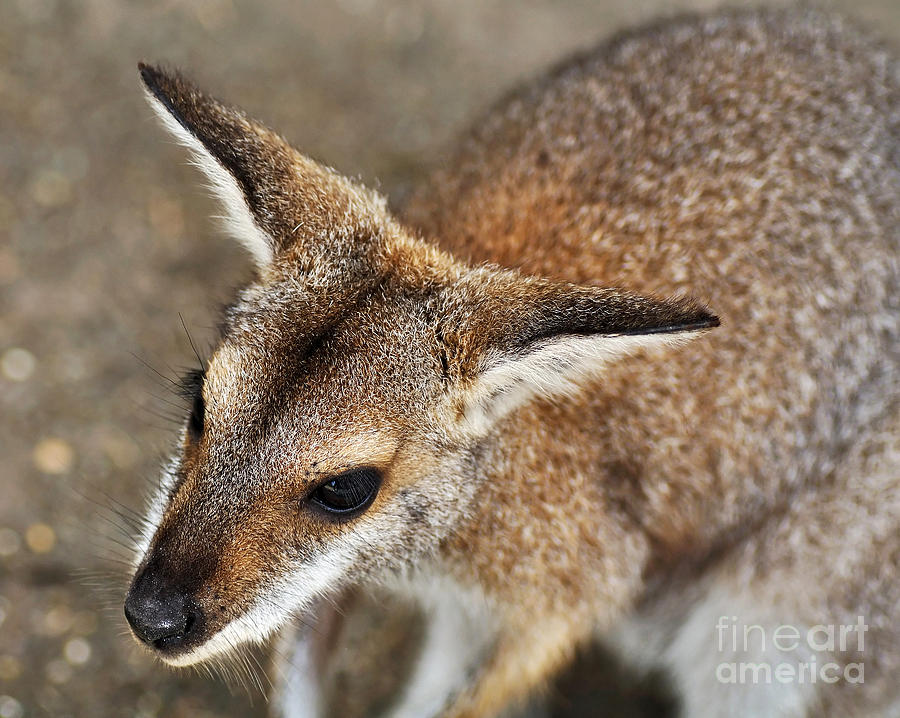 Wallaby Portrait Photograph